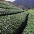 篠山の茶畑